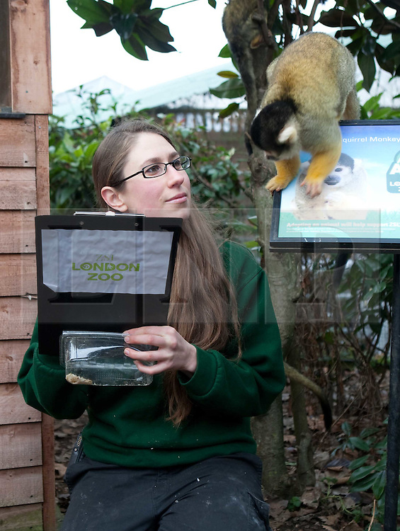 ©London News Picures.04/01/2011. A Zoo keeper with Squirrel Monkeys before making a record of their numbers at London Zoo as part of the zoo's annual stocktake on January 4, 2011 in London, England. ZSL London Zoo is home to over 650 different species which all need to be cataloged in their annual stocktake which is a compulsory requirement for their zoo license..Photo credit should read Fuat Akyuz/London News Pictures.