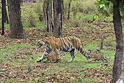 Bengal Tiger<br /> Panthera tigris <br /> Mother walking with 7 week old cubs<br /> Bandhavgarh National Park, India