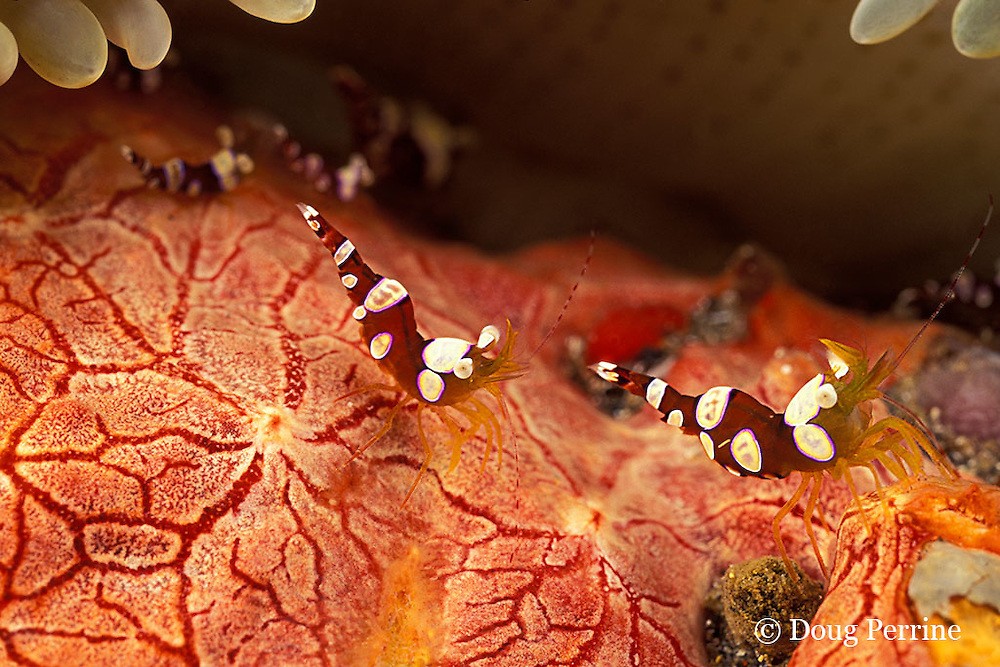 squat anemone shrimp, Thor sp., on red encrusting sponge, Monanchora barbadensis, sheltered by sun anemone, Stichodactyla helianthus, St. Vincentor Saint Vincent, West Indies ( Eastern Caribbean Sea )