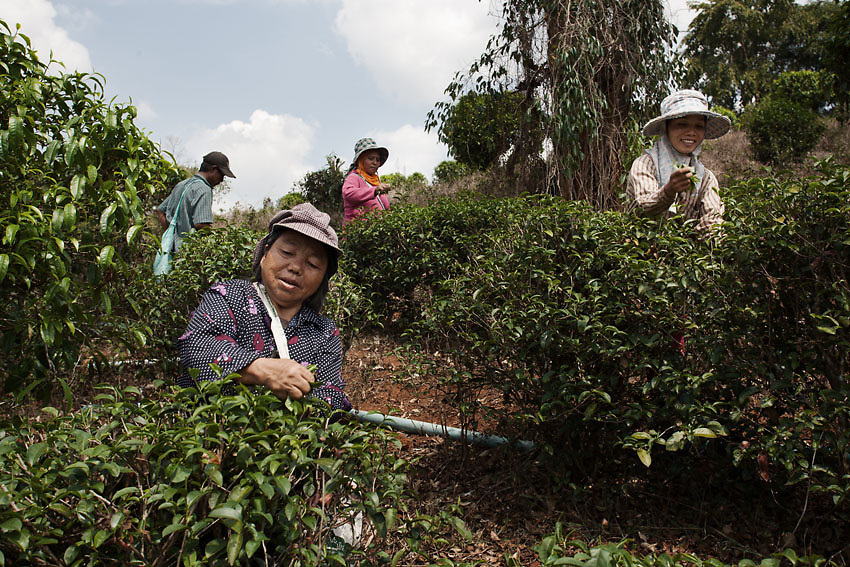 Tea plucking in Mae Suai district, Bang Wawi, northern Thailand.<br /> Ban Wawi is one of the major tea-planting areas in Chiang Rai. It has a population of 1200, comprising several tribal groups such as Lisu, Lahu, Akha, Karen and Tai Yai, who have a long standing reputation for planting tea. Local villagers began tea production in 1932 but just in the mid '90s the Thai Government introduced the Royal Project to help develop the Wawi district and respond to the rising consumers demand.