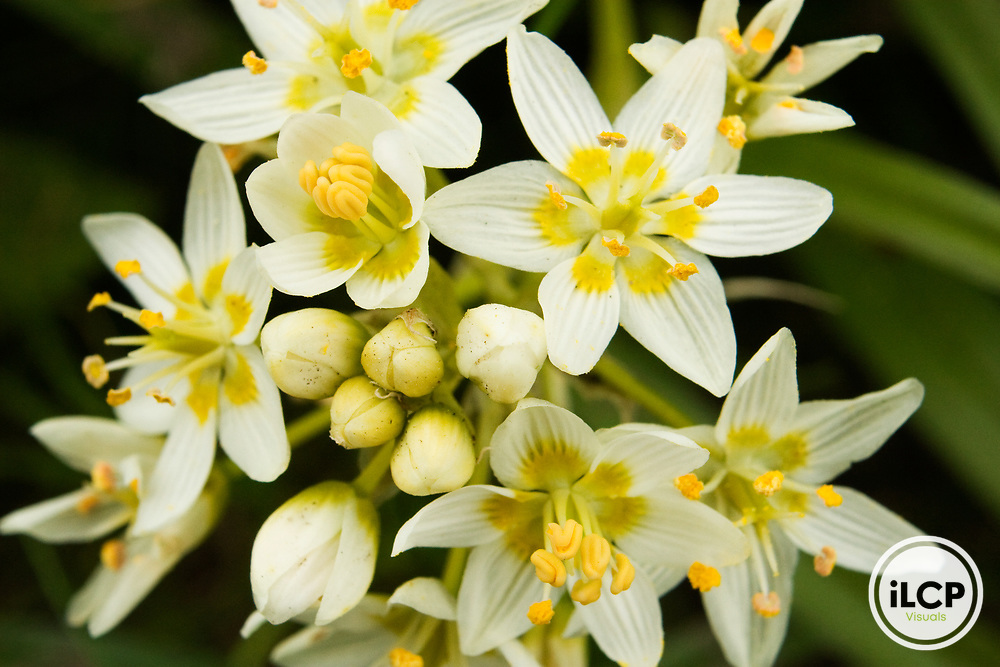 Star Lily (Zigadenus fremontii) flowering, Point Lobos State Reserve, Monterey Bay, California