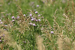 thistle in bloom<br /> Finfrock State Natural Habitat Area (Illinois)
