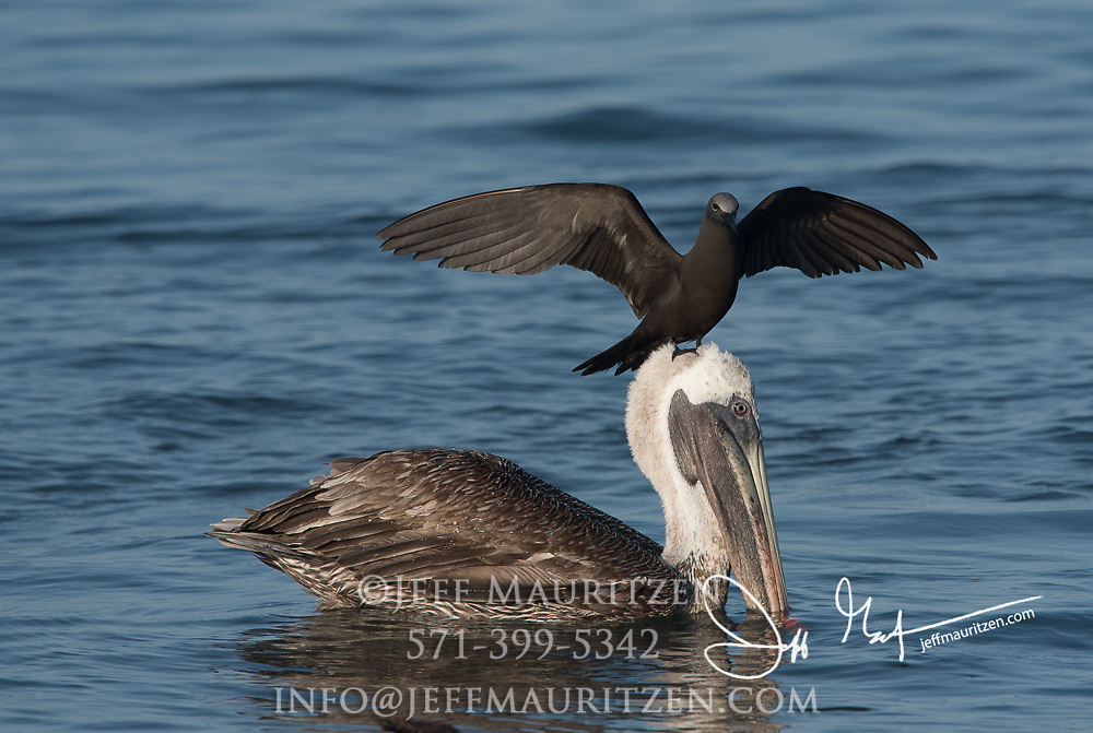 A Brown noddy lands on a Brown pelican's head in an attempt to steal its recent catch.
