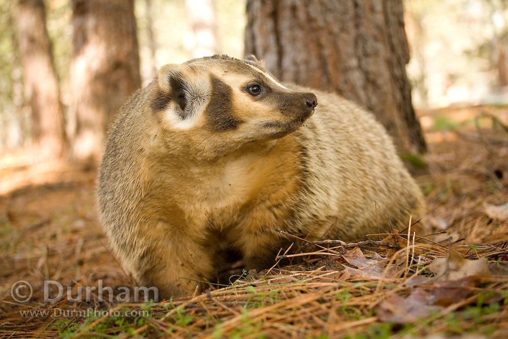An american badger (Taxidea taxus) in ponderosa pine forest, Central Oregon. Captive.