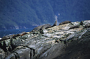 A colony of fur seals lives on the rock formations at the boundary of the Tasman Sea and Doubtful Sound, Fiordlands, south island, new zealand. 1999