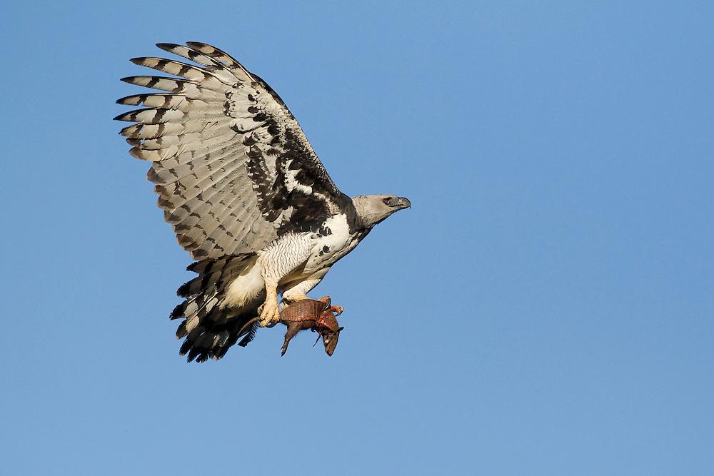 Barra do Bugre_MT,  Brazil.<br /> <br /> Serra das Araras Ecological Station in Barra do Bugre, Mato Grosso. In this photo the Harpy Eagle (Harpia harpyja) with yellow armadillo (Euphractus sexcinctus (L..)<br /> <br /> Foto: JOAO MARCOS ROSA / NITRO