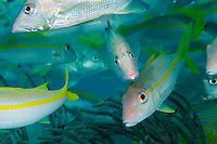 Goatfish and Lane Snappers Congregate..Shot in British Virgin Islands