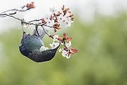 Tui and Springtime Blossoms, New Zealand