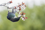 Tui and Springtime Blossoms, New Zealand