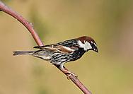 Spanish Sparrow - Passer hispaniolensis<br /> male
