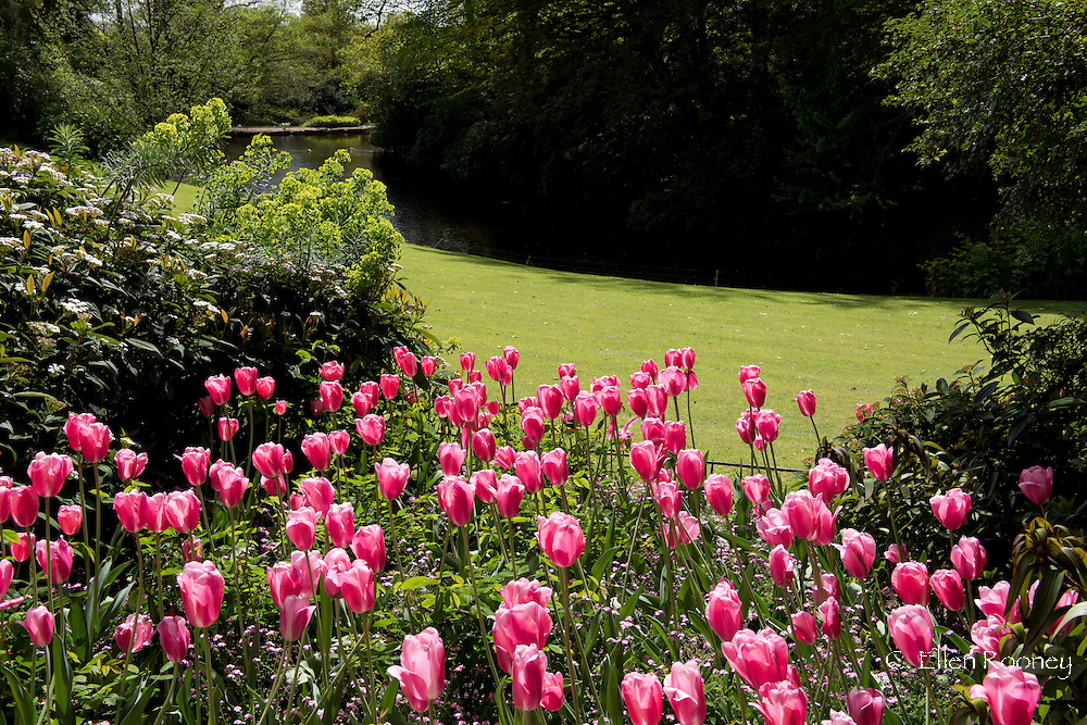 Tulipa 'Survivor', pink tulips in a bed at Pashley Manor Gardens, Ticehurst, East Sussex, UK