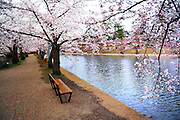 Hirosaki castle park in northern Japan in spring time. Beautiful cherry blossoms and pine trees flank the moat.<br />