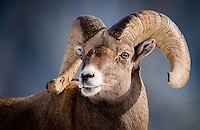 A large bighorn ram poses in a shaft of light durring a break in the snow storm