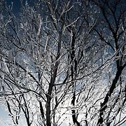 Hoar frost covers a dormant tree in a Saskatchewan winter.