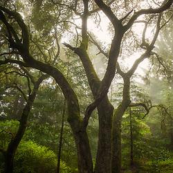 Mossy Oak Tree