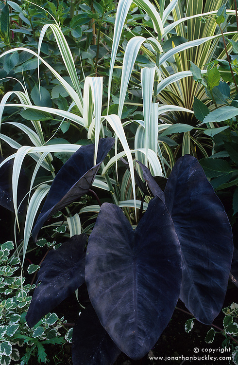 Colocasia esculenta 'Black Magic' ( Taro) with Plectranthus madagascariensis 'Variegated Mintleaf' and Arundo donax var. versicolor syn. 'Variegata' in the exotic garden at Great Dixter