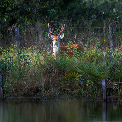 """Cervo-do-pantanal (Blastocerus dichotomus) fotografado em Corumbá, Mato Grosso do Sul. Bioma Pantanal. Registro feito em 2017.<br /> <br /> <br /> <br /> ENGLISH: Marsh deer photographed in Corumbá, Mato Grosso do Sul. Pantanal Biome. Picture made in 2017."""