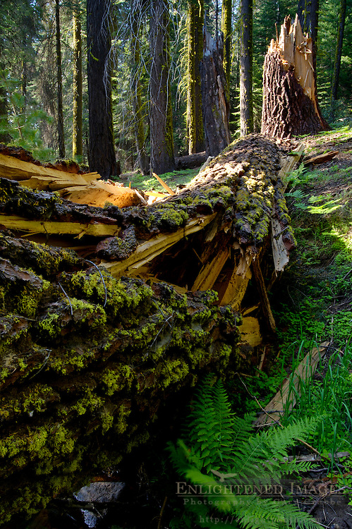 Fallen broken cracked pine tree trunk and bark, Dorst Creek, Sequoia National Park, California