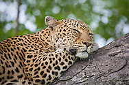 A female leopard (Panther pardus) sleeps in a tree in Kruger National Park, South Africa.