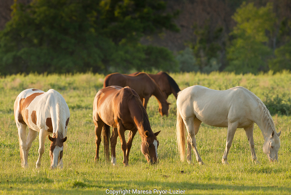 Horses grazing before sunset, Philmont Scout Ranch, Cimarron, NM