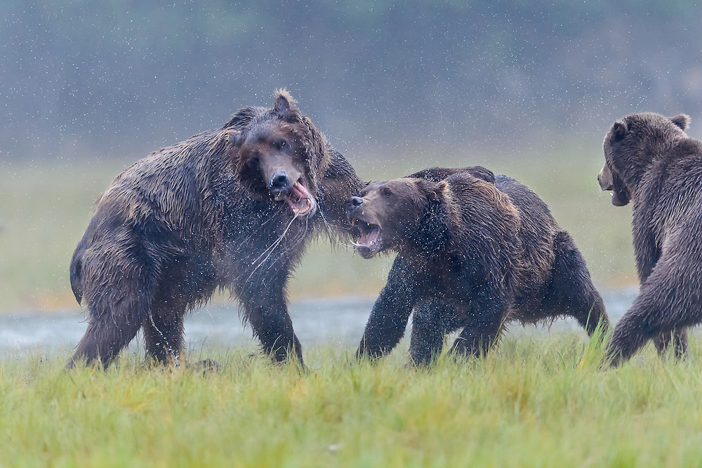Coastal Brown Bears Katmai Alaska