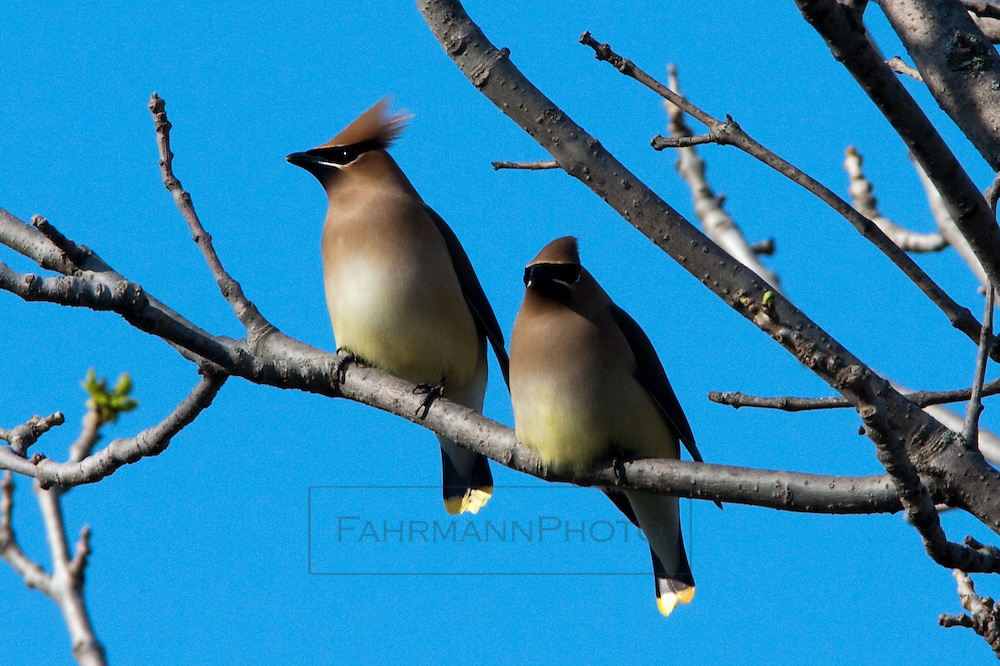 A pair of Cedar Waxwing birds sit on a branch of a tree