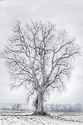 Bare Tree In Winter 2