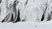 A polar bear, Ursus maritimus, walking along a huge marbled black and white glacier wall.
