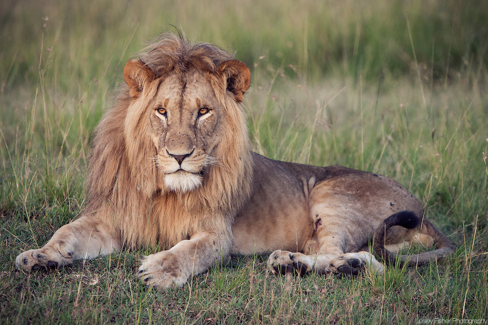 A lion in the Masai Mara National Reserve, Kenya, Africa