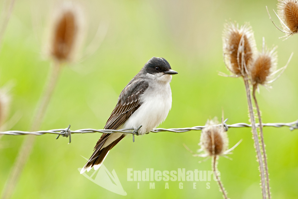 An Eastern Kingbird rests on a fence wire after chasing flying insects all morning.