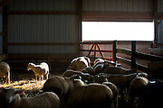 WESTBY, WI — DECEMBER 9: Adolescent sheep walk through their enclosure at the Hidden Springs Creamery farm.