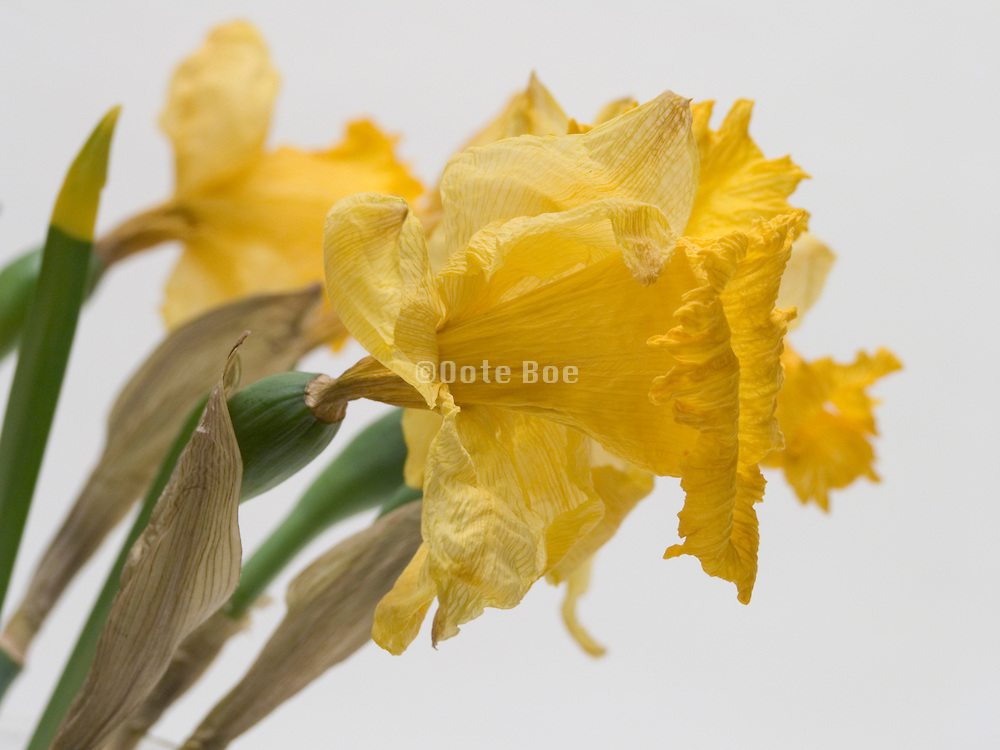 close up of dehydrating daffodils.