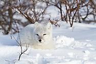 01863-01101 Arctic Fox (Alopex lagopus) in snow in winter, Churchill Wildlife Management Area, Churchill, MB Canada
