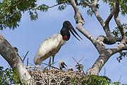 Jabiru stork<br /> Jabiru mycteria<br /> nest<br /> Pantanal, Brazil