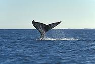 Grey whale fin,Laguna St.Ignacio,Baja California,Mexico
