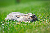 It was a hot sunny day and there were hawks circling high over head. This poor White-tailed Jackrabbit was desperately trying not to be noticed and it laid perfectly still. Why it would choose to do so in the middle of a wide open grassy area I have no idea...<br /> <br /> &copy;2015, Sean Phillips<br /> http://www.RiverwoodPhotography.com