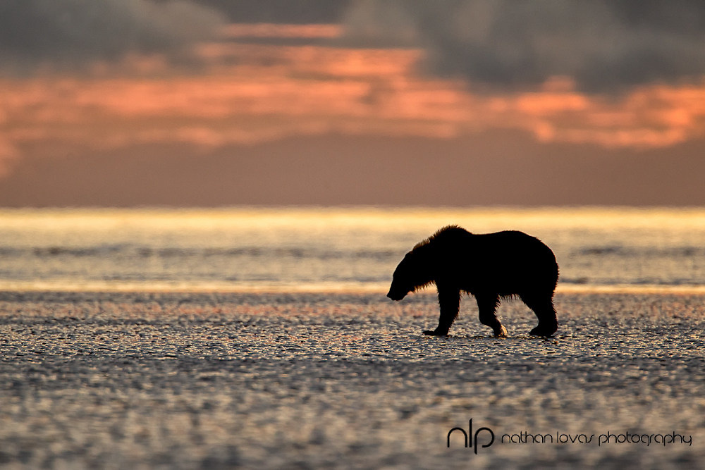 Brown bear (Ursus actos) walking across tidal flats at sunrise;  Lake Clark NP, Alaska in wild.