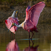 The Roseate Spoonbill, Platalea ajaja, is a large wading bird with pink plumage and a distinctive spatula shaped beak. It stand 85 cm tall and have a 1.3 m wingspan being one of the most striking birds found in North America. The Roseate Spoonbill breeding range extends south from Florida through the Greater Antilles to Argentina and Chile. <br /> Photography by Jose More