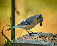 Blue Jay. Image taken with a Nikon D5 camera and 600 mm f/4 VR telephoto lens (ISO 500, 600 mm, f/4, 1/1250 sec).