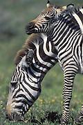 Plains Zebra<br /> Equus burchelli<br /> Mother and newborn foal<br /> Ngorongoro Conservation Area, Tanzania