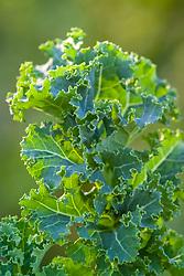 Kale 'Pentland Brig'