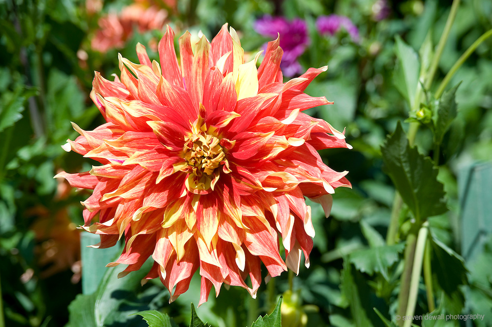 Dahlia at the Butchart Gardens