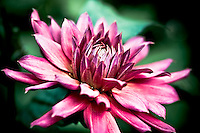 Close-up of radiant pink dahlia.