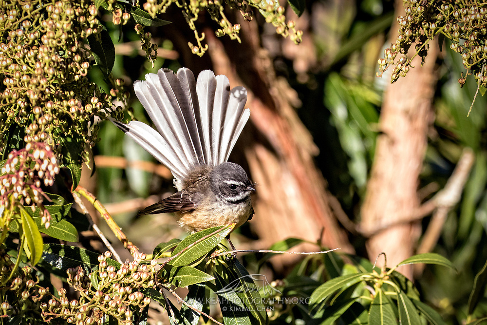 An opportunistic fantail temporarily basks in the sunlight, while eyeing insects in the vicinity.