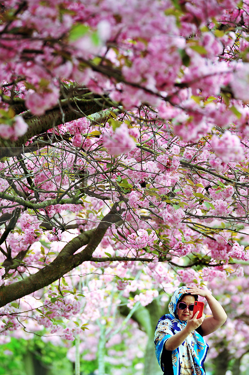 © Licensed to London News Pictures.23/04/2018<br /> GREENWICH, UK.<br /> Pink selfie lady.<br /> Greenwich Park Cherry Blossom,Greenwich. <br /> Photo credit: Grant Falvey/LNP