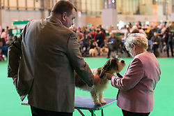 © Licensed to London News Pictures. 09/03/2017. Dog in competition being viewing by judges on the first day of Crufts, the world's largest dog show. The annual event is organised and hosted by the Kennel Club and has been running since 1891. Birmingham, UK. Photo credit: Ray Tang/LNP