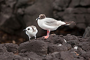 Swallow-tailed gull (Creagrus furcatus) chick (left) and female parent. South Plaza Island, Galapagos Archipilego, Ecuador.