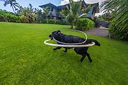 Black Labrador Retriever with hula hoops, Kauai, Hawaii