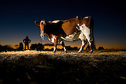 Dairy cow at Bernie Mannes farm at Strathfieldsaye near Bendigo. Pic By Craig Sillitoe melbourne photographers, commercial photographers, industrial photographers, corporate photographer, architectural photographers, This photograph can be used for non commercial uses with attribution. Credit: Craig Sillitoe Photography / http://www.csillitoe.com<br />