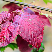 Yet another variety of the beautiful red leaves of autumn.  Be careful as this one has thorns around it!